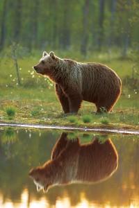Observação de Ursos